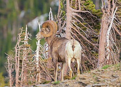 Photograph - Glacier Ram by Loree Johnson