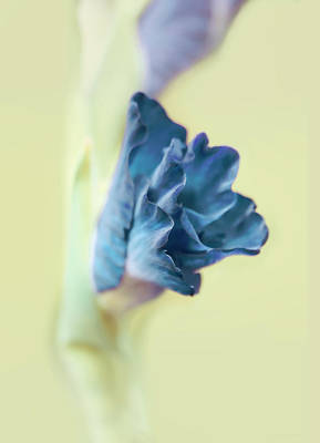 Photograph - Gladiola Flower Beginnngs Blue by Jennie Marie Schell