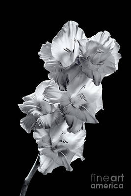 Photograph - Gladiola In Bw by David Perry Lawrence