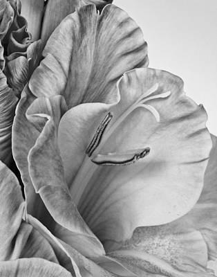Gladiola In Grays Art Print