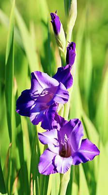 Photograph - Gladiola Purple by Athena Mckinzie