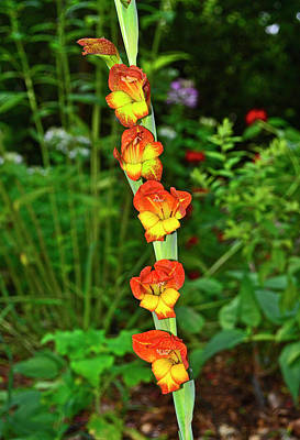 Photograph - Gladiolus 001 by George Bostian