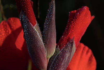 Photograph - Gladiolus And Dew by Robert Potts