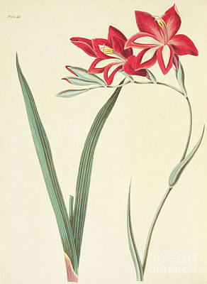 Exotic Plants Drawing - Gladiolus Cardinalis by Margaret Roscoe