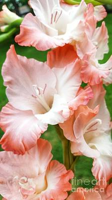 Photograph - Gladiolus Ruffles  by Rachel Hannah