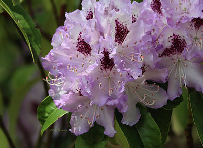 Photograph - Glamorous Lavender Rhododendrons by Jeanette C Landstrom