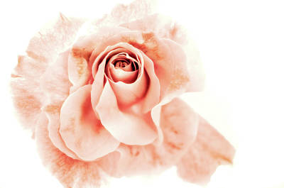 Rosaceae Photograph - Glamorous by Venetta Archer