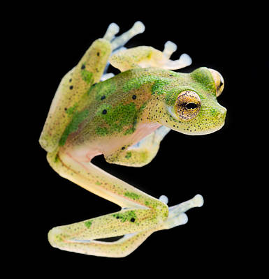 Frogs Photograph - glass frog Amazon forest by Dirk Ercken