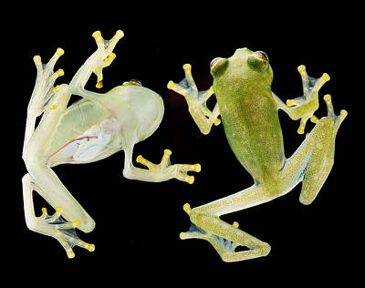 Frogs Photograph - glass frog Amazon rain forest by Dirk Ercken