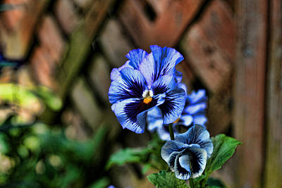 Photograph - Glass Pansy by Mike Smale