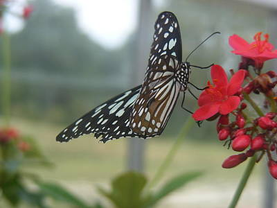 Glass Wing Butterfly Art Print by James and Vickie Rankin