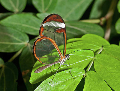 Photograph - Glasswing Butterfly by David Freuthal