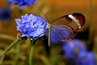 Photograph - Glasswing Butterfly by Living Color Photography Lorraine Lynch