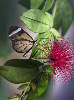 Photograph - Glasswing Butterfly On A Fairy Duster  by Saija Lehtonen