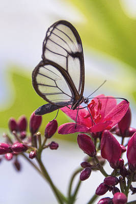 Photograph - Glasswing Butterfly  by Saija  Lehtonen