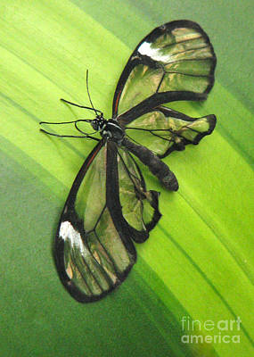 Photograph - Glasswing by Frank Townsley