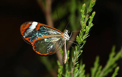 Photograph - Glasswinged Butterfly by Living Color Photography Lorraine Lynch