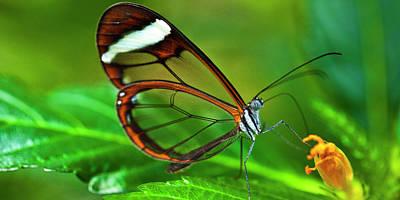 Photograph - Glasswinged Butterfly by Ralph A Ledergerber