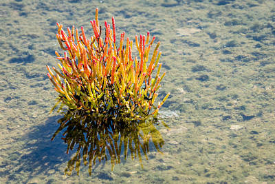 Photograph - Glasswort by Debra Martz