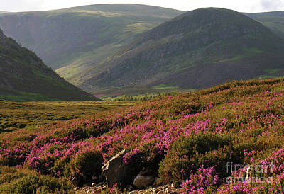 Photograph - Heather In The Glen by Phil Banks