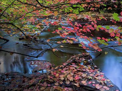 Photograph - Glenn Creek Vine Maple by Robert Potts