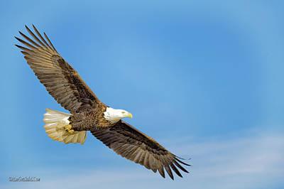 Photograph - Glide American Bald Eagle by LeeAnn McLaneGoetz McLaneGoetzStudioLLCcom