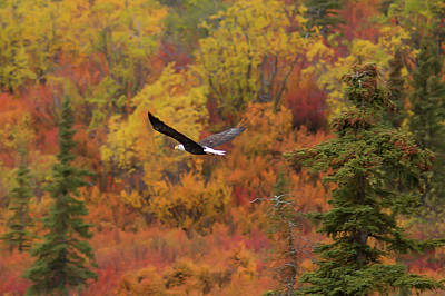 Eagle In Flight Photograph - Glide Path by Ed Boudreau