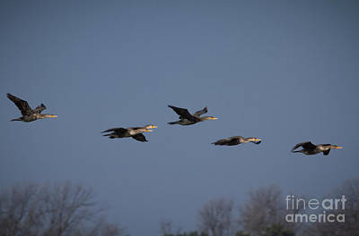Photograph - Gliding Cormorants by David Cutts