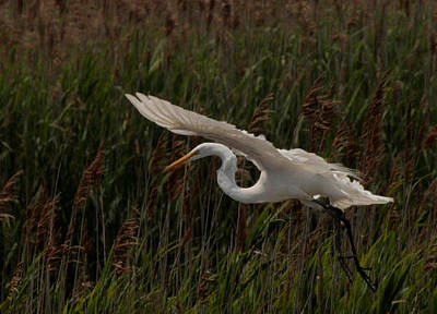 Photograph - Gliding Egret by Christopher Kirby