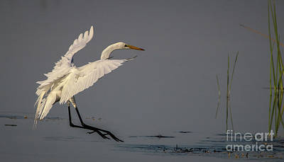 Photograph - Gliding Egret by Tom Claud