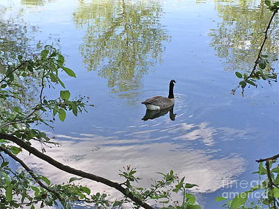 Photograph - Gliding Goose by Barbara Plattenburg
