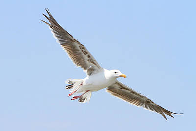Photograph - Gliding Gull by Shoal Hollingsworth