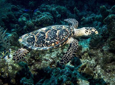 Photograph - Gliding Hawksbill Turtle by Jean Noren