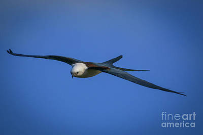 Photograph - Gliding Kite by Tom Claud