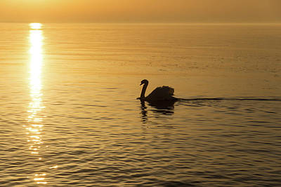 Photograph - Gliding On Silky Gold - The Swan And The Sunpath by Georgia Mizuleva