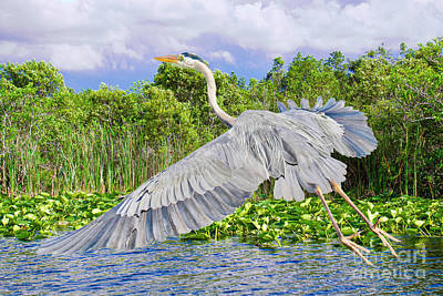 Photograph - Gliding Over The Glades by Judy Kay