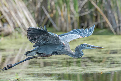 Photograph - Gliding Over The Wetlands... by Ian Sempowski
