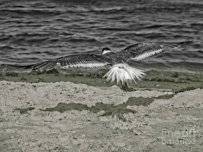 Photograph - Gliding Seagull by Ella Kaye Dickey