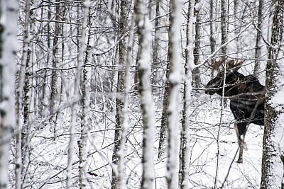 Photograph - Glimpse Of Bull Moose by Christina VanGinkel
