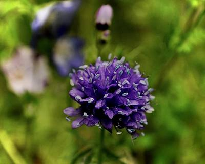 Photograph - Globe Gilia In The Garden by Lynda Anne Williams