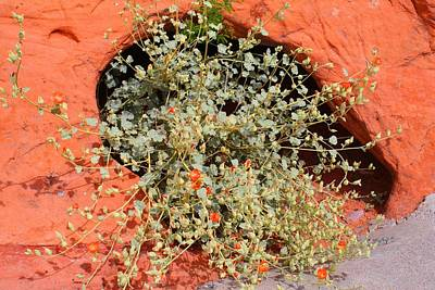 Photograph - Globe Mallow by Kathryn Meyer