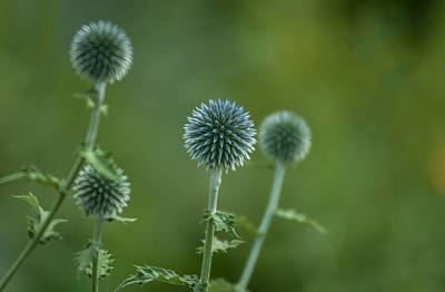 Photograph - Globe Thistles Echinops by David Smith
