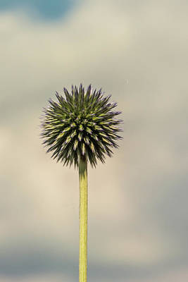 Photograph - Globe Thistle 1 by Steve Purnell