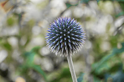 Photograph - Globe Thistle 2 by Steve Purnell