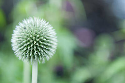 Photograph - Globe Thistle by Helen Northcott