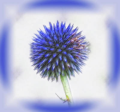 Photograph - Globe Thistle With Vignette by MTBobbins Photography