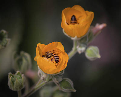 Photograph - Globemallows And Friends-img_779517 by Rosemary Woods-Desert Rose Images