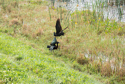 Photograph - Gloosy Ibis Battle 2 by Michael Gooch
