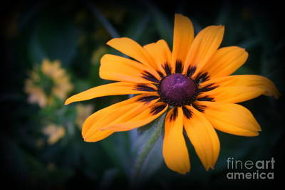 Photograph - Gloriosa Daisy by Kay Novy