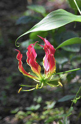 Photograph - Gloriosa In Flames by William Tasker